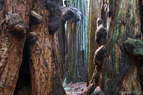 burls, flora, forest, green, mount tamalpais, muir woods national monument, nature, northern california, old-growth coast redwood trees, outdoors, outside, sequoia sempervirens, tallest trees, trunks,