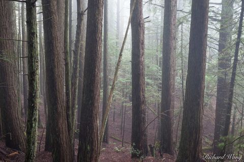 coast redwood trees, fog, foggy, landscape, marin county, moody, mount tamalpais state park, mysterious, nature, northern california, outdoors, outside, redwoods, san francisco bay area, scenery, sequ