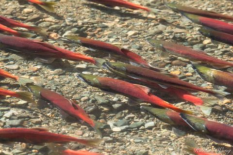 Kokanee Salmon Spawn at Taylor Creek, South Lake Tahoe, California, photo