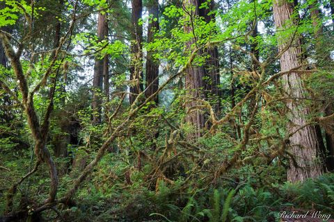 Humboldt County, landscape, lichen, moss, nature, northern california, old-growth redwood forest, orick, outdoors, outside, pacific coast, prairie creek redwoods state park, scenic, temperate rainfore