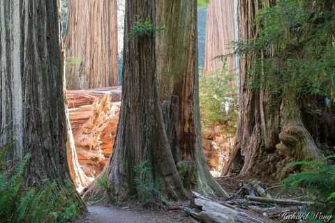 Redwood National Park, del norte county, jedediah smith redwoods state park, landscape, nature, north coast, northern california, old-growth redwood forest, orick, outdoors, outside, scenic, simpson-r