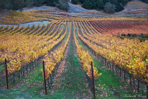 autumn leaves, colorful, fall colors, grapevines, green, landscape, napa county, napa valley, north america, northern california, outdoors, outside, red, rows, san francisco bay area, scenery, scenic,