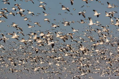 aerial, avian, birds, california central valley, ecosystem, flight, flock, flying, geese, habitat, merced national wildlife refuge, national parks, nature, northern california, nwr, outdoors, outside,