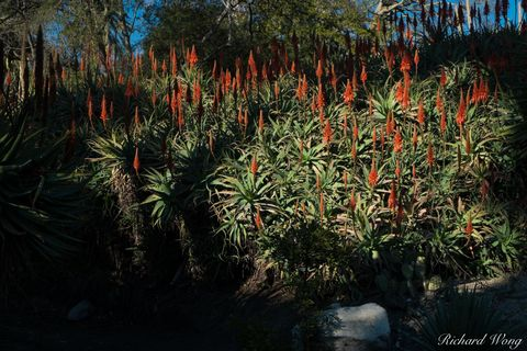 Los Angeles County, aloe hill, aloe vera, bloom, blooming, blooms, desert garden, flora, huntington botanical gardens, nature, outdoors, outside, plants, rainbow, red flowers, san marino, southern cal