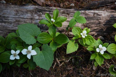 White Wildflowers, Kootenay National Park, British Columbia, Canada, photo