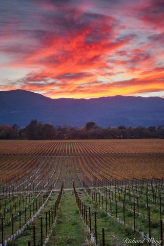 alpenglow, autumn leaves, colorful, fall colors, grapevines, green, landscape, mumm, napa, napa county, napa valley, north america, northern california, orange, outdoors, outside, red, rows, san franc