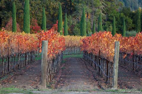 autumn leaves, boeschen vineyards, cabernet sauvignon, colorful, fall colors, grapevines, green, landscape, napa county, napa valley, north america, northern california, orange, outdoors, outside, red