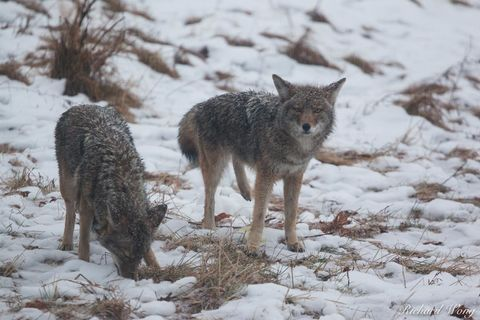 2, animals, autumn, canis latrans, coyotes, december, duo, frost, icy, late fall, mammals, mariposa county, nature, outdoors, outside, pair, precipitation, scenic, season, sierra nevada mountains, sno