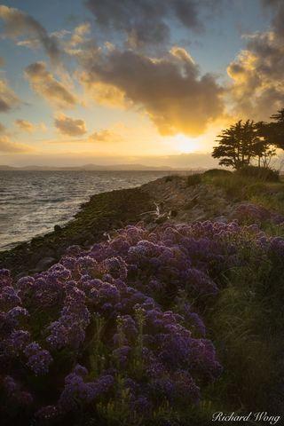 Shoreline Park, alameda, bay farm island, dusk, east bay, evening, harbor bay, landscape, nature, northern california, outdoors, outside, purple wildflowers, san francisco bay, scenery, scenic, seasca