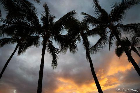 Palm Trees & Sunset at Waikiki Beach, Honolulu, Oahu, Hawaii, photo