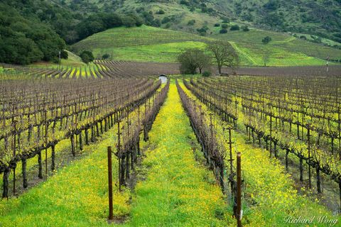 bloom, blooming, colorful, grapevines, landscape, mustard flowers, napa county, napa valley, north america, northern california, outdoors, outside, rows, san francisco bay area, scenery, scenic, seaso