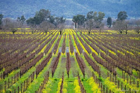 american viticultural association, bloom, flowers, green, landscape, mustard flowers, napa county, napa valley, north america, northern california, outdoors, outside, rows, san francisco bay area, sce