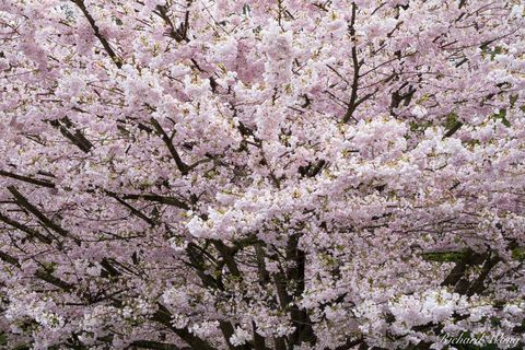 Stanley Park Cherry Tree Blossoms, Vancouver, B.C., Canada, photo