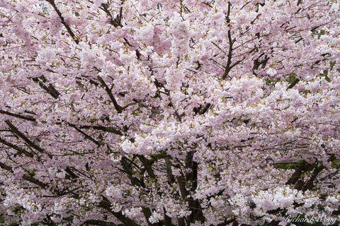 april, bc, beautiful, bloom, blooming, british columbia, canada, cherry blossom, flora, flowering, flowers, landscape, nature, north america, outdoors, outside, pink flower, pretty, prunus, sakura, sc
