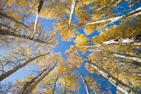 aspen tree canopy, hope valley, sierra nevada mountains, fall colors, california, photo