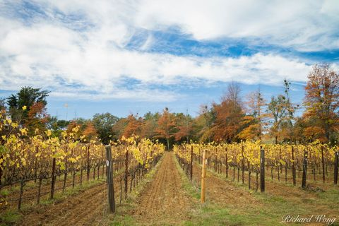 autumn leaves, clouds, daytime, fall color, healdsburg, landscape, northern california, october, outdoors, outside, rows, russian river valley ava, san francisco bay area, scenery, scenic, seasons, so