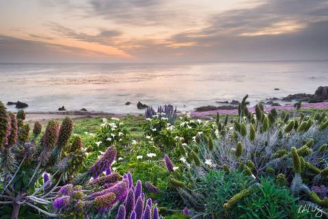 Spring Flowers at Sunrise, Pacific Grove, California, photo