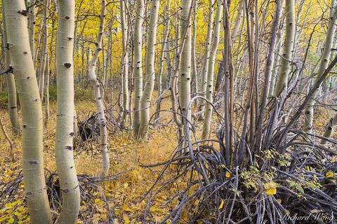 Aspen Trees in Fall Near Convict Lake, Inyo National Forest, California, photo