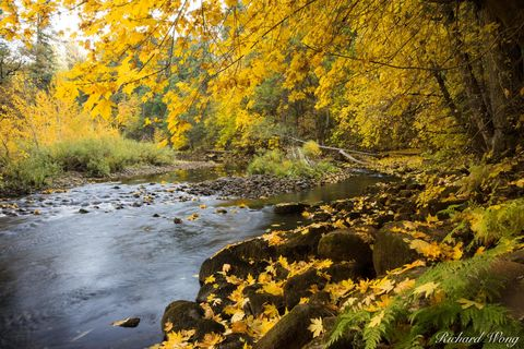 California, autumn leaves, big leaf maple trees, colorful, fall colors, foliage, forest, golden, green, landscape, merced river, nature, north america, outdoors, outside, reflections, scenery, scenic,
