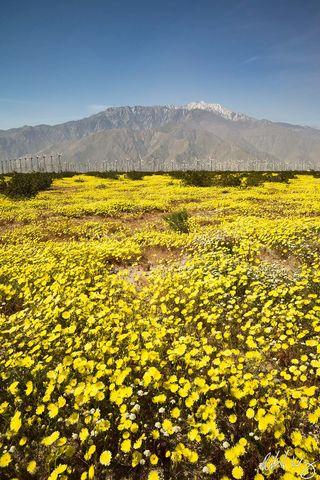 Spring Wildflowers and Wind Turbines Below Mount San Jacinto, Palm Springs, California