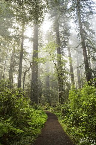 Lady Bird Johnson Grove Trail Morning Fog, Redwood National Park, California Photo