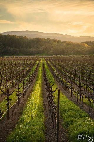 Yountville Vineyard Sunset, Napa Valley, California, Photo