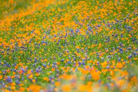 Golden Poppies & Lupine, Merced River Canyon, California, Photo
