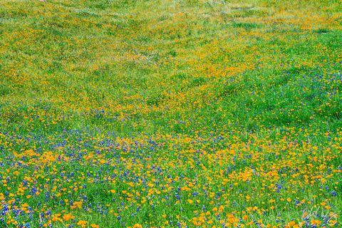 Spring Wildflowers, Merced River Canyon, California, Photo