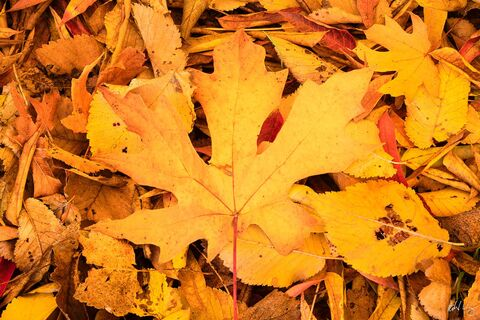 Autumn Leaves on the Ground, Redwood Regional Park, California, photo