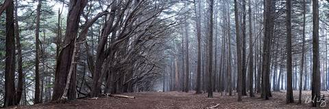 Monterey Cypress Tree Forest Panoramic Photo at James Fitzgerald Marine Reserve, Moss Beach, California, photo