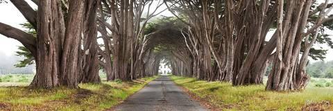 Monterey Cypress Tree Tunnel Panoramic Photo, Point Reyes National Seashore, California, photo