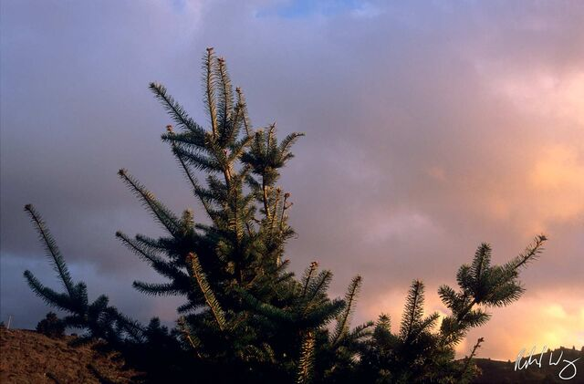Pine Tree at Sunset, Half Moon Bay, California, photo