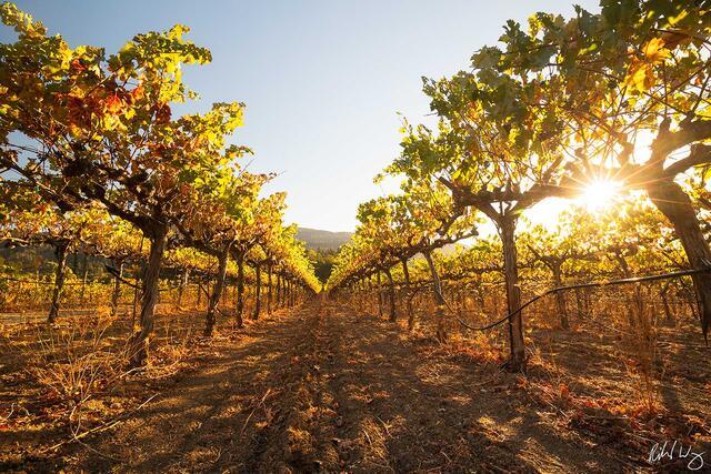 Canard Vineyard at Sunset, Calistoga, California, photo
