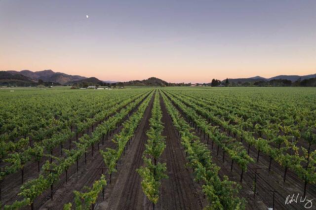 Moon Rising Over Vineyard at Sunset, Oakville AVA, California, photo