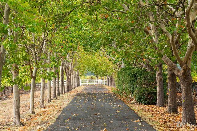 Tree-Lined Driveway, Oakville, California, photo