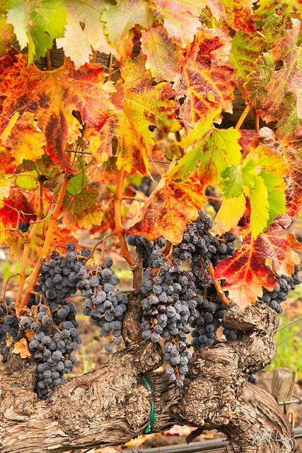 The Grapes of Fall