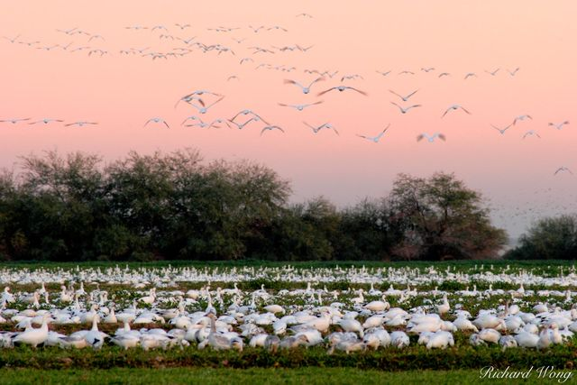 Flying Snow Geese at Twilight, Sonny Bono Salton Sea National Wildlife Refuge, Westmorland, California, photo