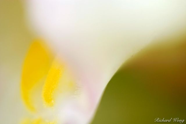 Macro detail of Cymbidium Orchid Flower, photo