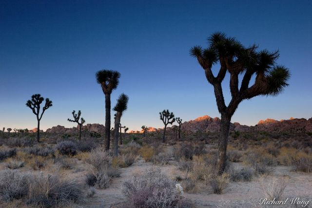 Joshua Trees and Last Light on Boulders, Joshua Tree National Park, California, photo