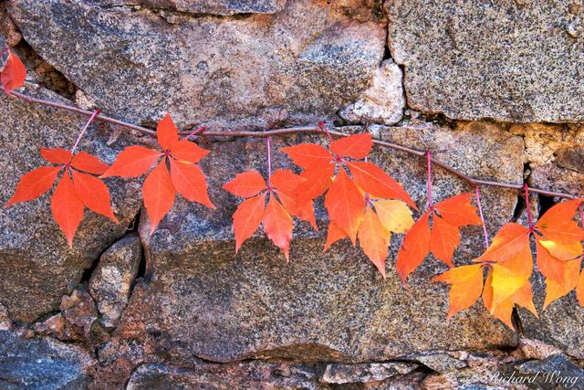 Red Autumn Leaves Against Brick Wall, Empire Mine State Historic Park, Grass Valley, California, photo