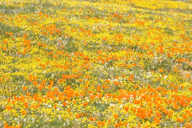 Goldfields and Golden Poppies, Antelope Valley Poppy Reserve, California, photo