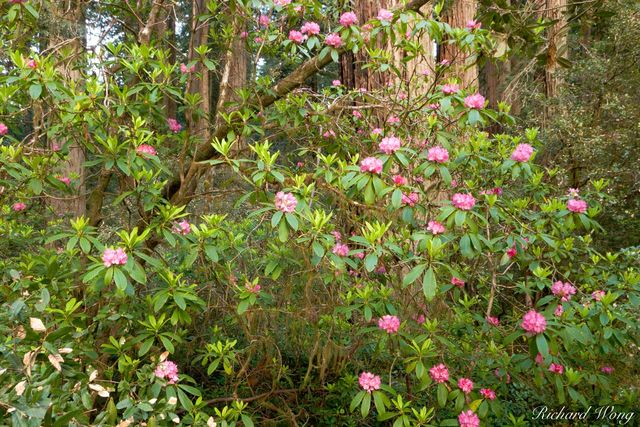 Rhododendron Blooms, Coast Redwood Trees (Sequoia sempervirens), Lady Bird Johnson Grove, Redwood National Park, California, photo