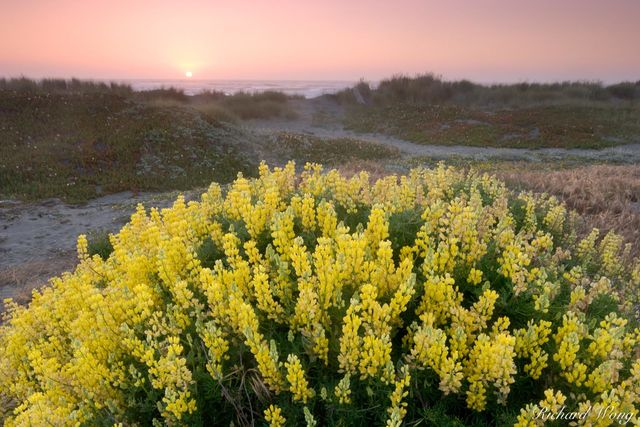 Bush Lupine at Sunset, Samoa Dunes Recreation Area, California, photo