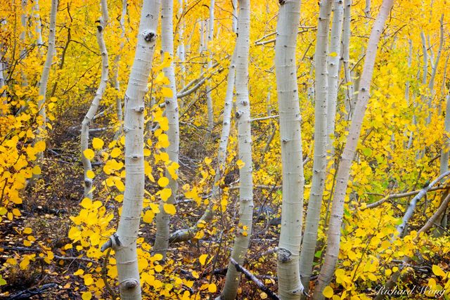 Aspen Trees Fall Foliage, South Fork Bishop Creek, Eastern Sierra, California, photo