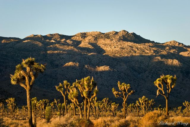 Joshua Trees Against Shadowed Mountain, Joshua Tree National Park, California, photo