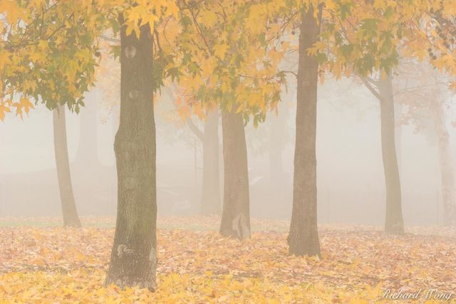 Liquid Amber Fall Colors in Fog at Gladstone Park, Glendora, California, photo