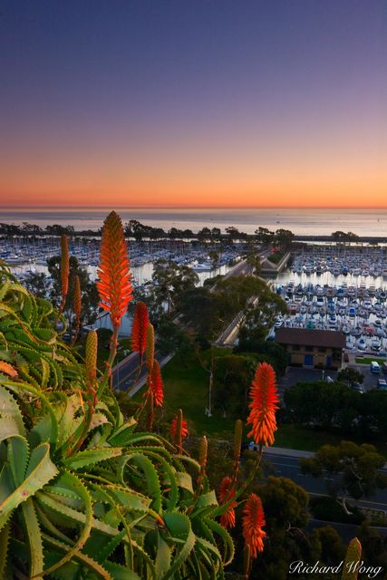 Aloe Vera Flowers and Dana Point Harbor Scenic Vista, Orange County, California, photo