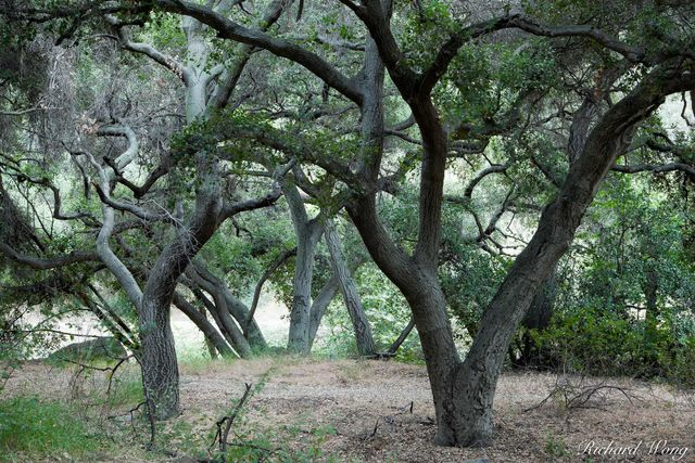 Oak Tree Forest, Big Dalton Canyon Wilderness Park, Glendora, California, photo