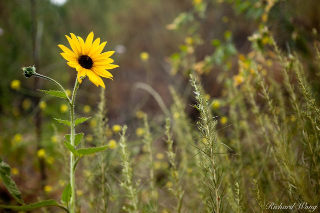 Wild Sunflowers at Big Dalton Canyon Wilderness Park, Glendora, California