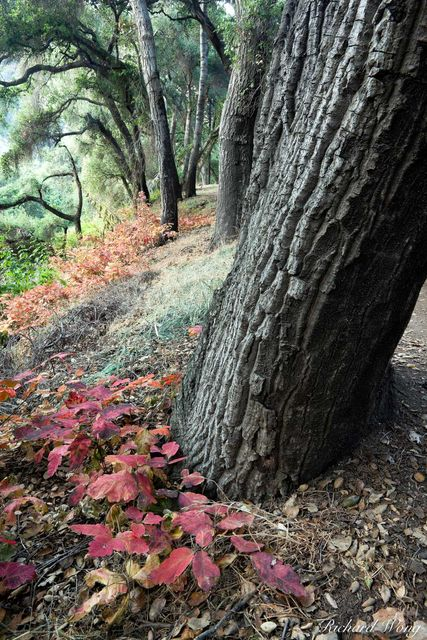 Oak Tree Forest and Poison Oak Leaves, Big Dalton Canyon Wilderness Park, Glendora, California, photo